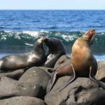 Puerto-Ayora-lobos-marinos