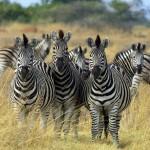 zebras-in-botswana[1]